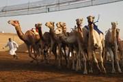 В ОАЭ можно бесплатно посетить верблюжьи бега