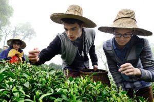Чай лунцзин из  Ханчжоу ценится во всем мире