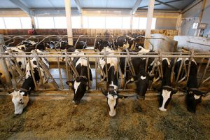 Израильский бизнес вложится в российских коров