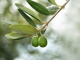 Листья оливы оказались мощным средством против рака