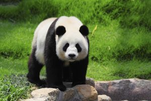 Китае туристам запретили фотографироваться с пандами