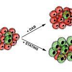 Противораковый препарат помог выбрать клетки с половиной хромосом