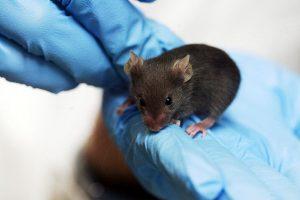 Противодиабетическое средство помогло восстановить мозг только самкам