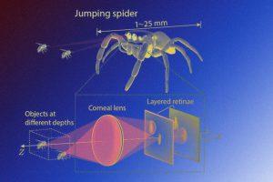 Глаза пауков-скакунчиков помогли разработать компактный сенсор глубины