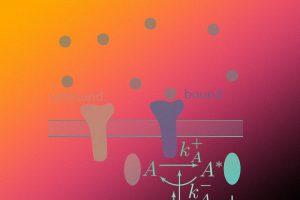 Физики оценили чувствительность клеток к быстрым и слабым колебаниям концентрации раздражителей