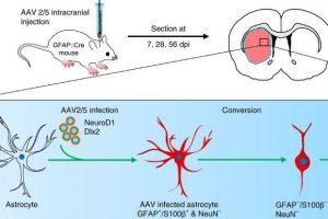 Астроциты превратились в тормозные нейроны и помогли мышам с болезнью Гентигтона
