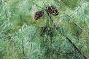 Ученые РФ и Китая исследовали антибактериальные свойства хвои сосен