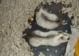 Ультразвуковой писк помог найти среди крыс любителей щекотки