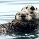Почему каланы не мёрзнут в воде